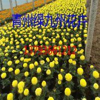 桔红孔雀草价格,黄孔雀草批发,山东孔雀草种植基地