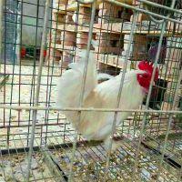 锦鸡养殖园山东红腹锦鸡养殖技术免费发货
