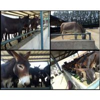 小驴驹养殖基地小毛驴价格品种