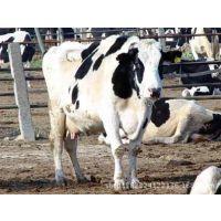 进口谷饲冷冻牛肉澳大利亚史密斯牧场-荷斯坦