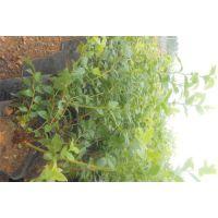 成都蓝莓苗|百色农业|蓝莓苗多少钱