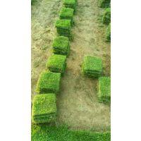 马尼拉草皮_马尼拉草坪价格_马尼拉草皮供应-