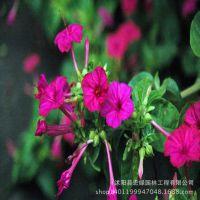 基地热销 优质精选 紫茉莉种子  庭院花园易种 颗粒饱满发芽率高