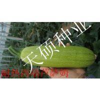 越夏翠绿抗病毒西葫芦种子萨姆
