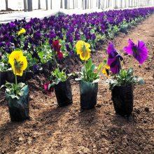 十月一摆放草花长春花批发商丨长春花种植基地