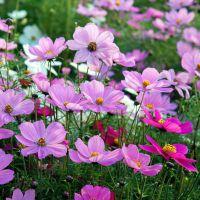 波斯菊种子盆栽格桑花种子四季绿化野花组合混色花卉种子易播种