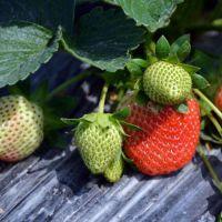 迪庆咖啡草莓苗、乾纳瑞农业科技(图)、咖啡草莓苗品种