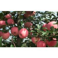 山东膜袋红富士苹果