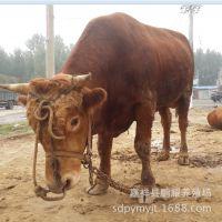 厂家促销各种肉牛 100%质量保证 肉牛纯绿色养殖 新品鲁西黄牛