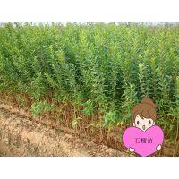 软籽石榴苗大量供应 规格0.5-2公分 品种纯正 根系发达 2年结果 壹棵树农业