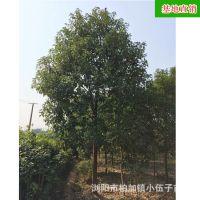 批发供应香樟树 全冠 10至12公分 工程苗 常绿乔木 市政园林 绿化