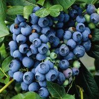 美登蓝莓苗简介 2年美登蓝莓苗种植基地