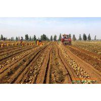 供应土豆种子价格秋播马铃薯种子