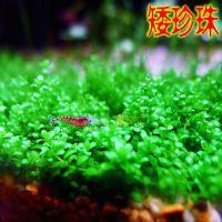 出口级矮珍珠草1杯 水中叶 前景造景水草 鱼缸水草 热带水草