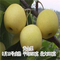 供应优质皇冠 晚秋 圆黄 梨树树苗高产 抗病能力强