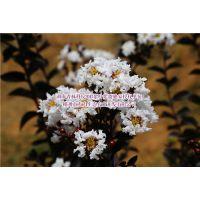 紫叶紫薇苗圃土壤消毒剂的种类