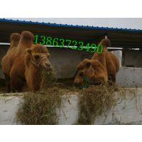 双11出售小骆驼还有驯化好的骆驼照相骆驼旅游骆驼