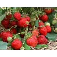 批发零售太空草莓苗
