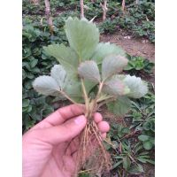 基地供应红颜草莓苗 草莓苗价格