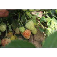 龙鑫苗木(在线咨询)、甜查理草莓苗、甜查理草莓苗基地