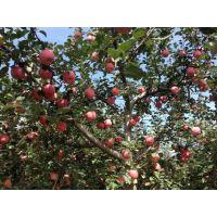 2015年陕西苹果批发找哪家?