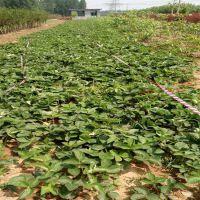 哪里有适合露天种植的草莓苗 山东草莓苗培育基地 价格低廉品种齐全