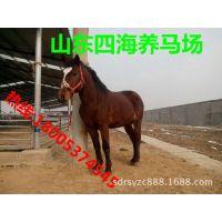 优良品种马匹简介 伊利马 伊利马养殖场  价格优惠 免费运输