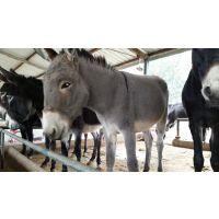 这里出售肉驴六合牛羊养殖场