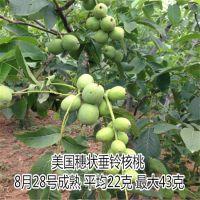核桃苗哪里有卖 清香 香玲 纸皮核桃等 泰东园艺场