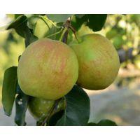 壹棵树农业供应0.8公分玉露香梨树苗 品种纯正 2年结果 成活率99%