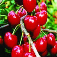 1公分俄罗斯8号桃树苗急售 贵州能种植俄罗斯8号樱桃树吗
