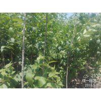 批发杜仲苗 药用 橡胶 炒茶 浑身是宝 杜仲树苗价格 株高1-2.5米 绿化行道树