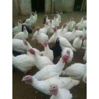火鸡养殖技术养火鸡赚钱火鸡养殖前景