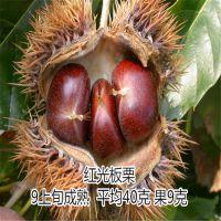泰山薄壳板栗苗 生长在泰山脚下100%纯种 泰东苗木