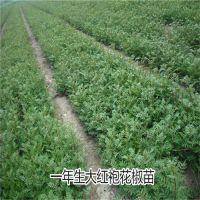 大红袍花椒苗基地 正宗品种 现挖现卖