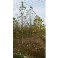 安徽马褂木价格怎么样?肥西马褂木苗木种植基地