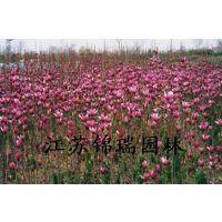 红白玉兰小苗正在热销中规格1-2米高