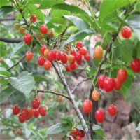 红玛瑙樱桃树苗 红玛瑙樱桃苗几年挂果