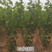 壹棵树农业苗木(在线咨询) 珍珠油杏种植方法 珍珠油杏多少钱一棵