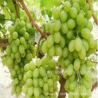 【包邮杏树杏子品种树早熟嫁接苗多树苗视频李妍熙图片