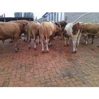 养殖动物种苗|牛苗|西门塔尔牛