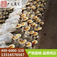 河北邯郸鲜灵芝图片 新鲜灵芝怎么吃 广义灵芝