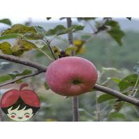 昭通红富士苹果丑苹果10斤包邮原生态自然生长全国一件代发