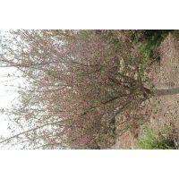 青岛即墨市8公分北美海棠系列垂丝海棠海棠