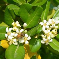 常年供应海桐球绿化工程苗 树形美 绿化灌木 海桐球 海桐小苗 量大从优