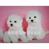 纯种 活体宠物狗 白色小体玩具体型比熊犬幼犬 比熊犬狗狗 出售