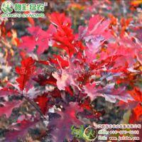 火焰红栎树苗报价 正宗红栎小苗图片 火焰红栎彩叶苗木 正宗红栎小苗供应采购