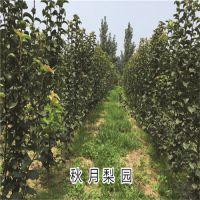 秋月梨树苗 超大果个 耐运丰产