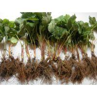章姬草莓苗价格、红河章姬草莓苗、龙泽苗木(在线咨询)