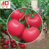 生产供应 宏达欧丽娜F1西红柿种子批发 高产粉红无限生长番茄种子